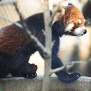シセンレッサーパンダ