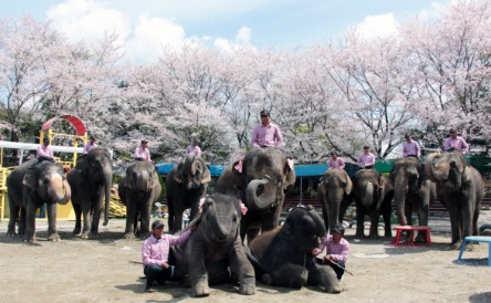 cherry blossoms and elephants